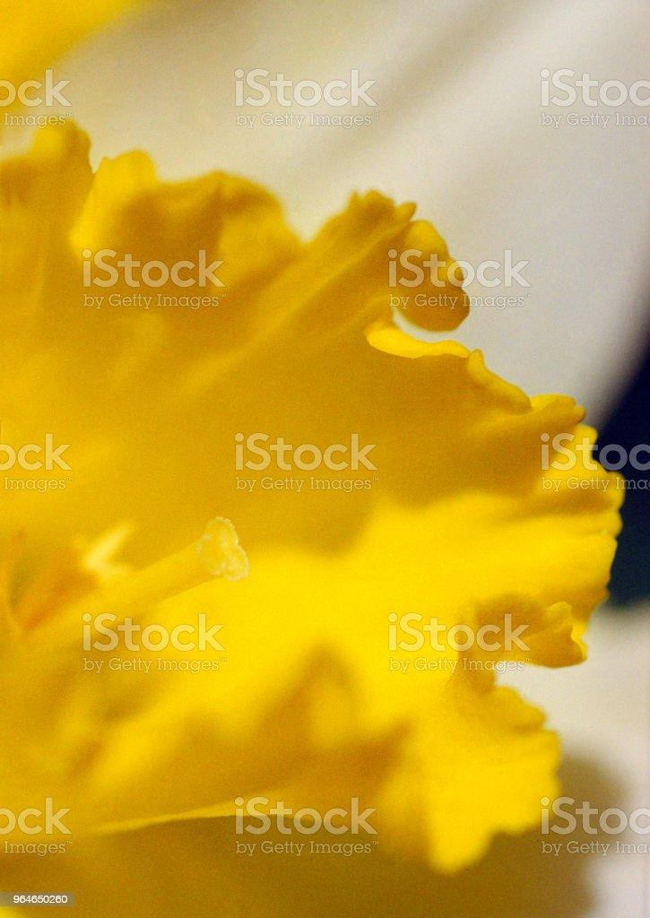 Macro image of narcissus flower. Shot on film royalty-free stock photo