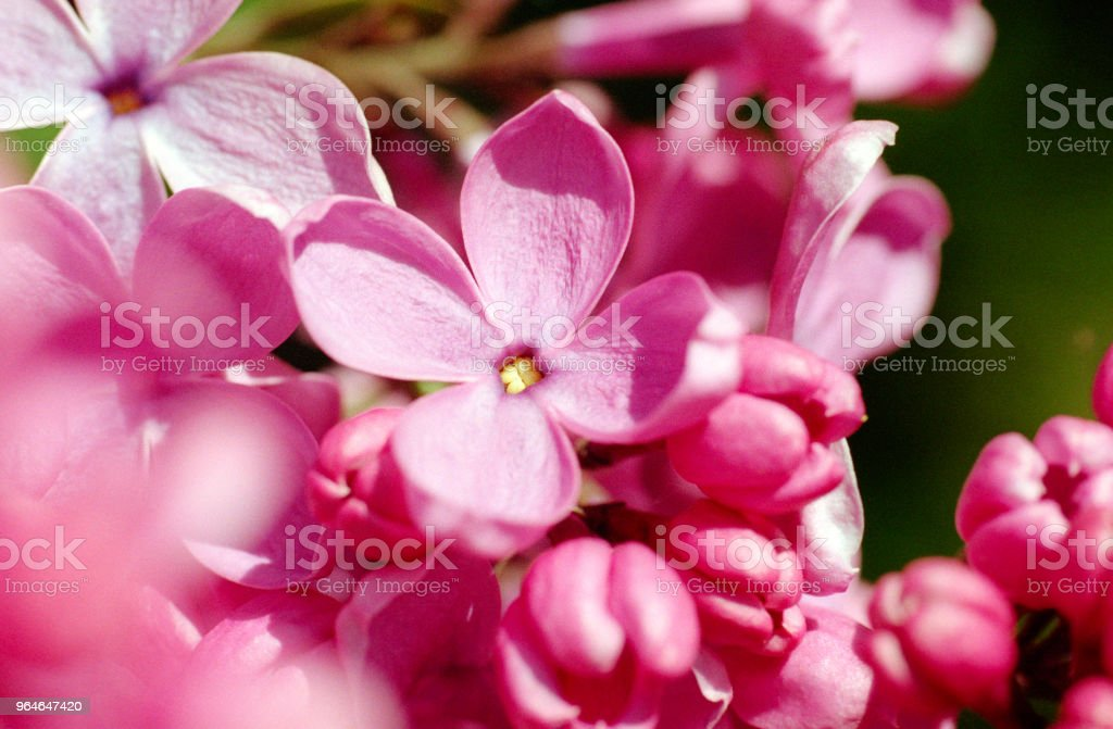 Macro image of pink lilac flowers. Shot on film royalty-free stock photo