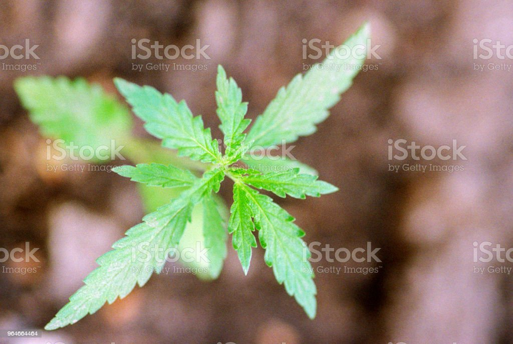 Macro image of small cannabis sativa plant.Shot on film royalty-free stock photo