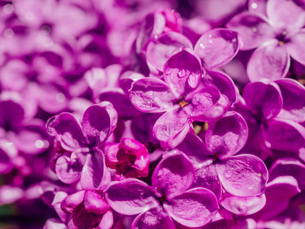 Macro image of spring lilac purple flowers, abstract soft floral background stock photo