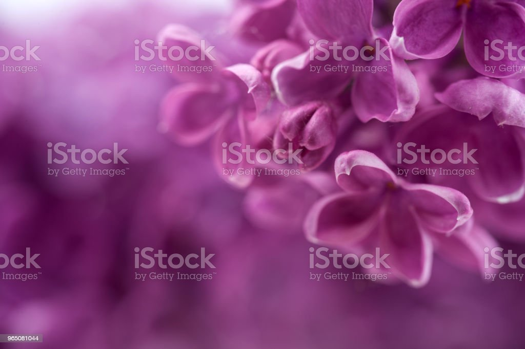Macro image of spring lilac violet flowers, abstract soft floral background zbiór zdjęć royalty-free