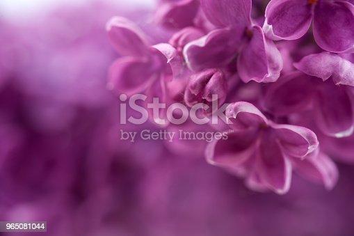 Macro Image Of Spring Lilac Violet Flowers Abstract Soft Floral Background - zdjęcia stockowe i więcej obrazów Abstrakcja