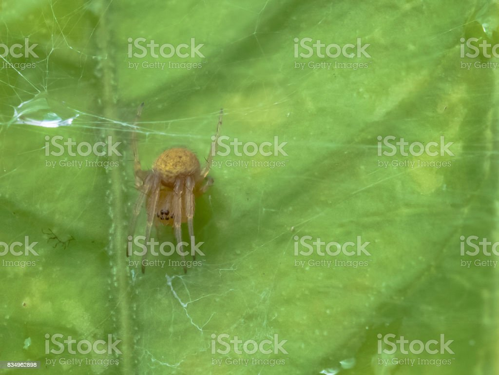 A macro image of tiny jumping spider catching a fly on a inda leaf. stock photo