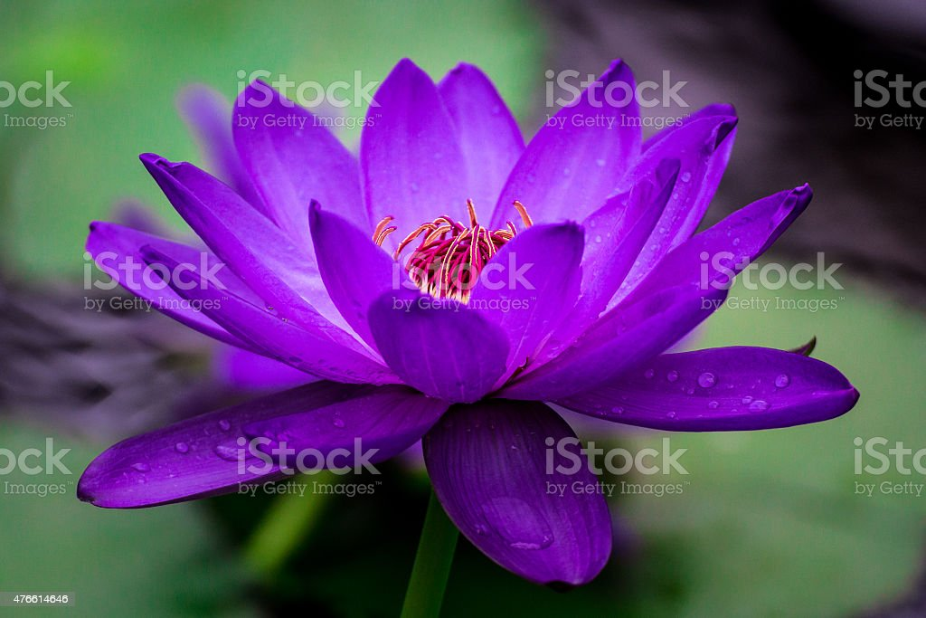 Macro image of vivid purple blooming water lily in nature stock photo