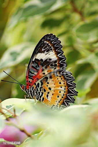 macro image pf Cethosia cyane, the beautiful  leopard lacewing butterfly
