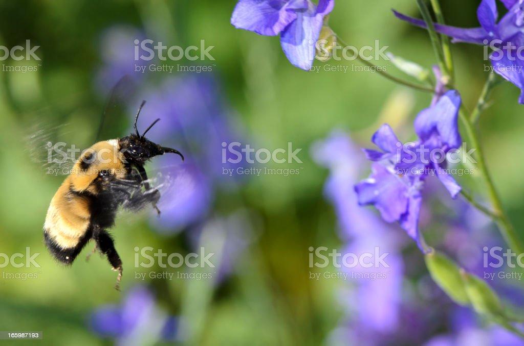 Macro Insect American Bumble Bee (Bombus pensylvanicus) in Flight stock photo