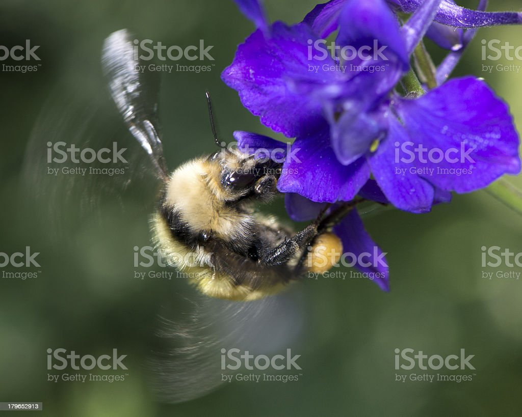 Macro Insect American Bumble Bee (Bombus pensylvanicus) Pollinating Flower royalty-free stock photo