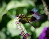 A macro image of a band winged dragonfly.