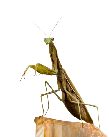 Orchid Mantis ,Pink grasshopper as animal background