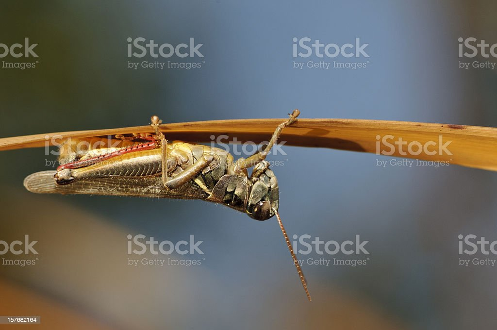 Macro Insect Grasshopper Hiding Under Reed royalty-free stock photo
