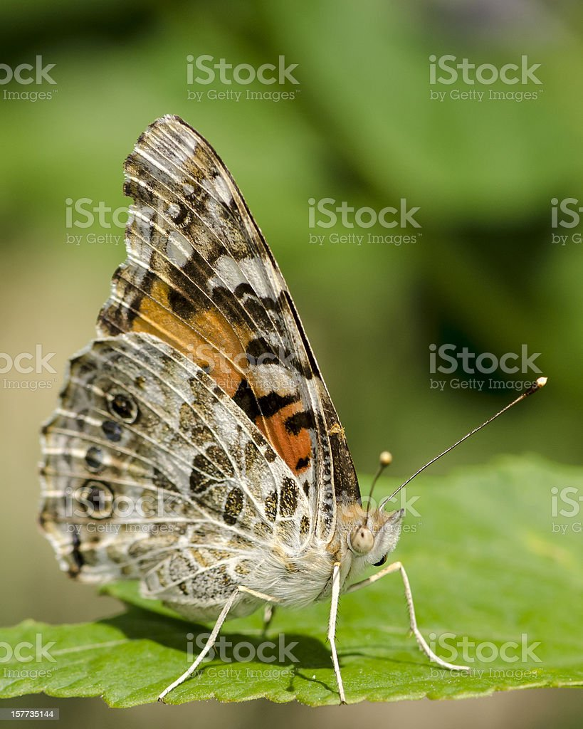 Macro Insect Painted Lady Butterfly (Vanessa cardui) stock photo