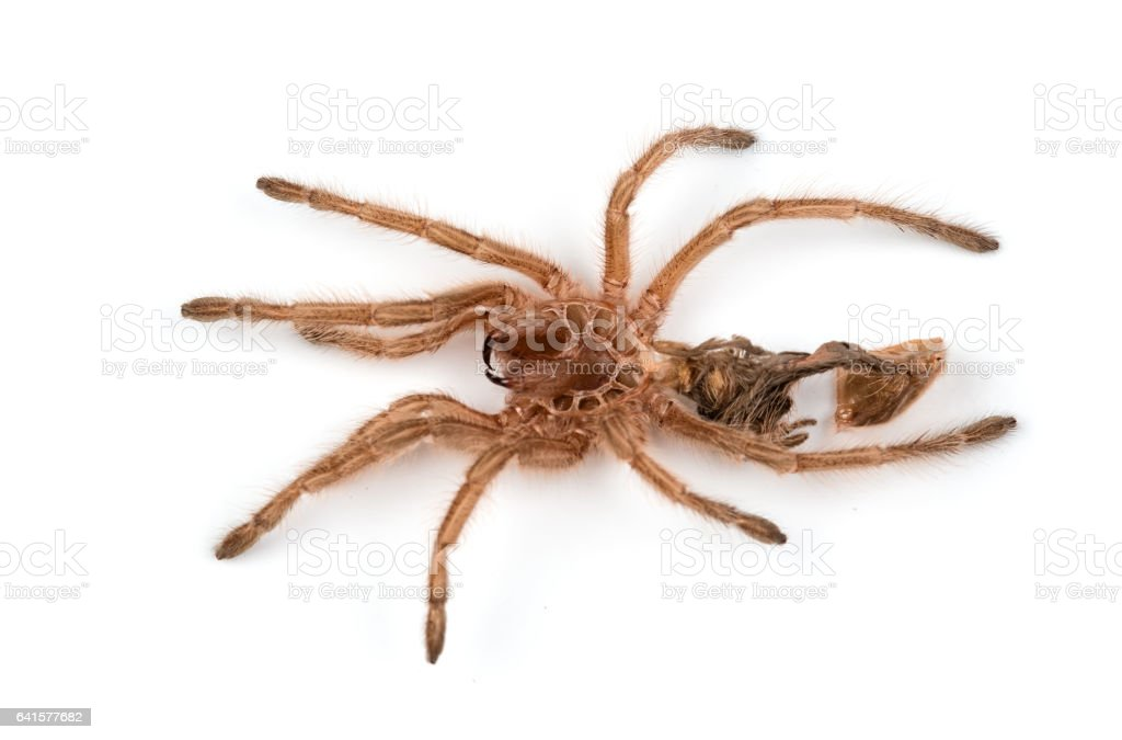 Macro isolated photo of spider's moult stock photo