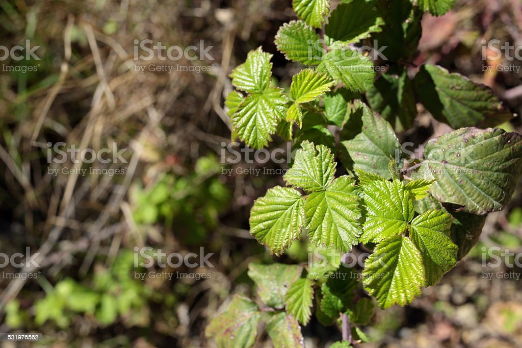 macro leaves of a bush royalty-free stock photo