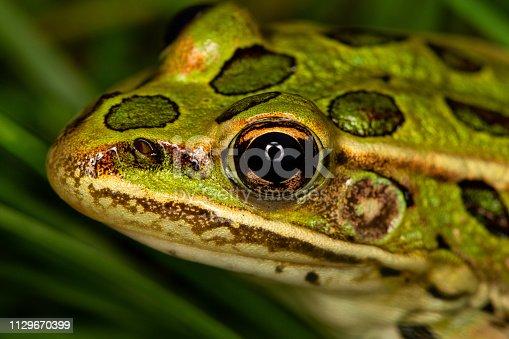 Leopard frog head macro
