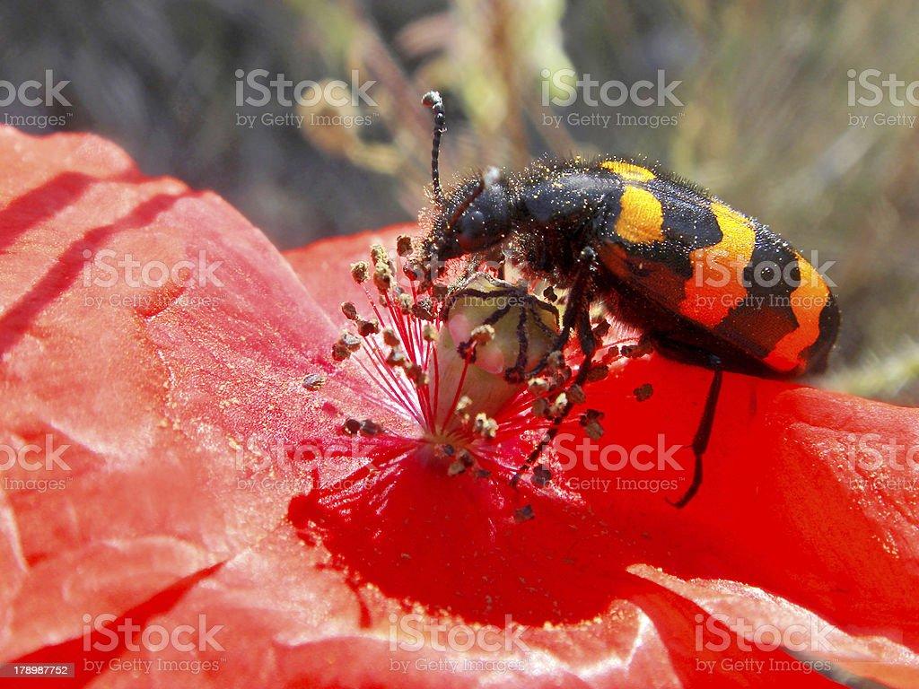 Macro mylabris on flower royalty-free stock photo