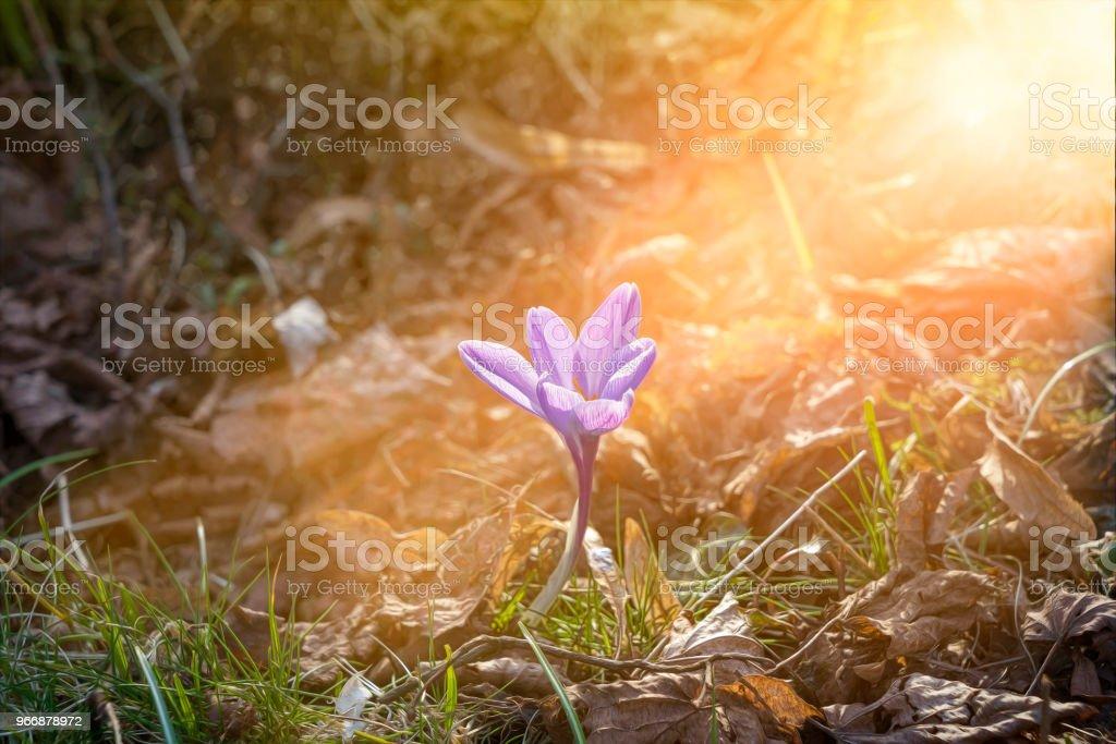 Makroaufnahme einer eine schöne violette Krokusse im Frühling – Foto