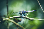 Macro color photography of one beautiful vibrant blue color dragonfly on plant branch in swamp Taken in France, Orthetrum Albistylum insect in summer during a sunny day, also called White-tailed Skimmer.