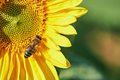 macro of a bee while collecting pollen in a sunflower on a sunny day