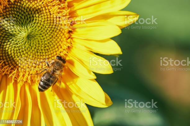 Photo of macro of a bee in a sunflower