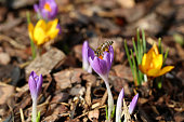 Macro of a bee with pollen bags on crocus in spring
