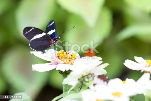 Macro of a black and white butterfly sitting on yellow flowers