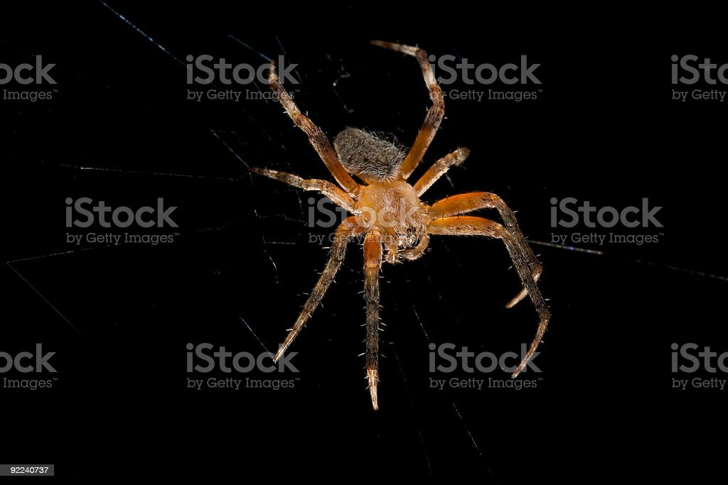 Macro of a brown Orb-Weaver Spider Isolated over Black stock photo