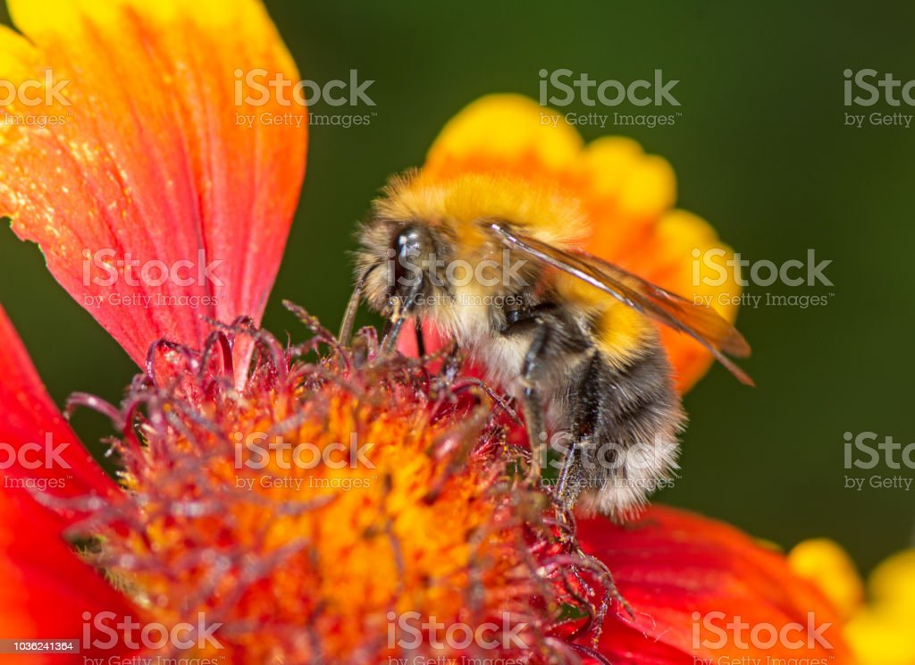 Macro Of A Bumblebee On A Pink Dragonflower Stock Photo More