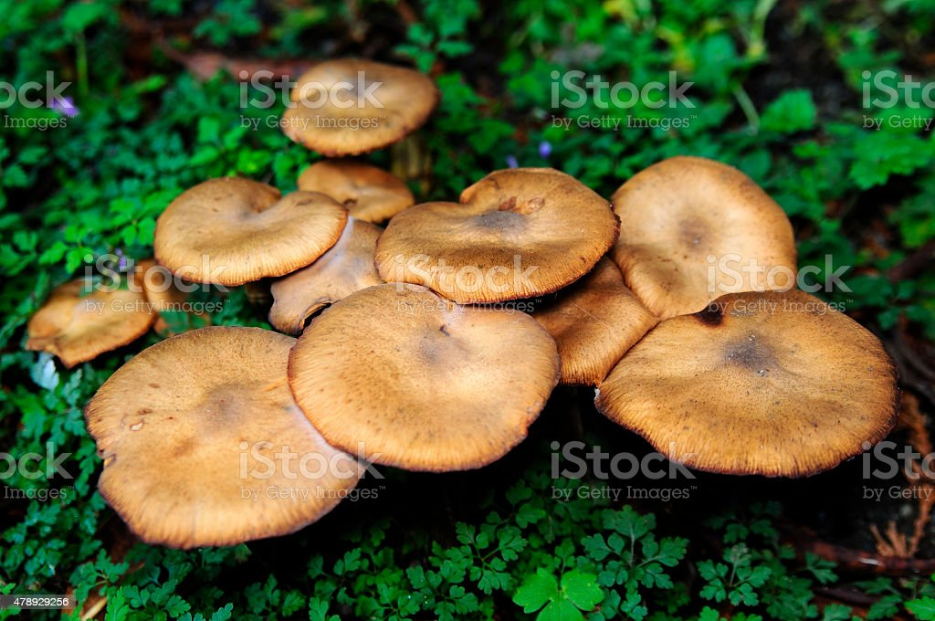 Macro of a bunch of edible mushrooms in the forest stock photo