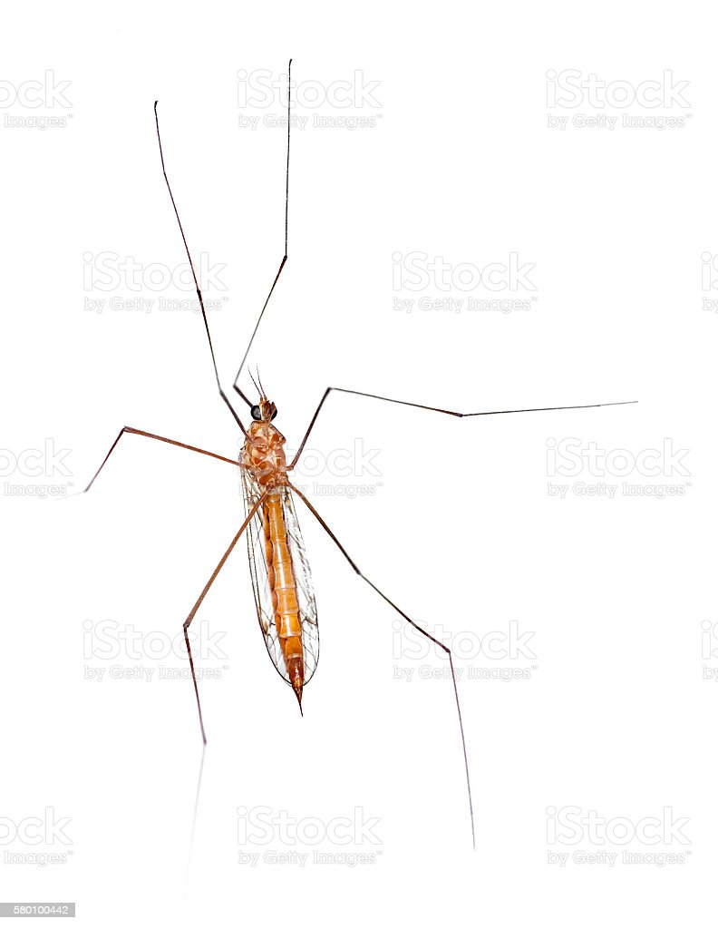 Macro of a Crane Fly From Underside stock photo