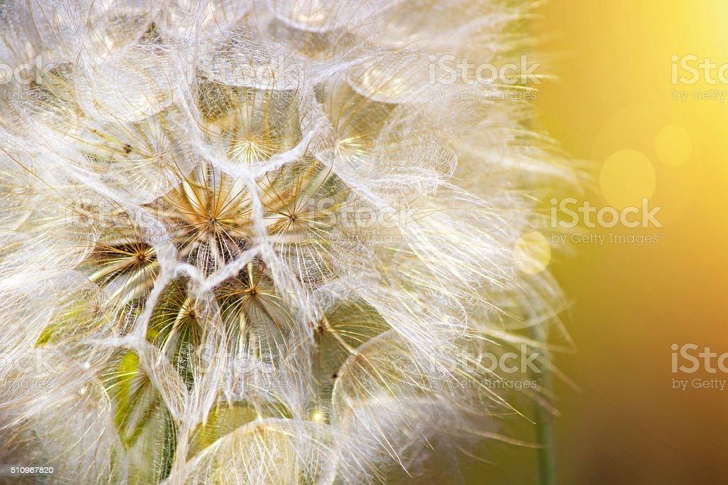 Macro of a Dandelion stock photo