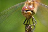 Macro of a Common darter (Sympetrum striolatum) dragonfly.