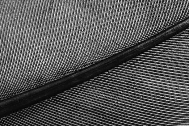 macro of a feather, lines on the feather stock photo