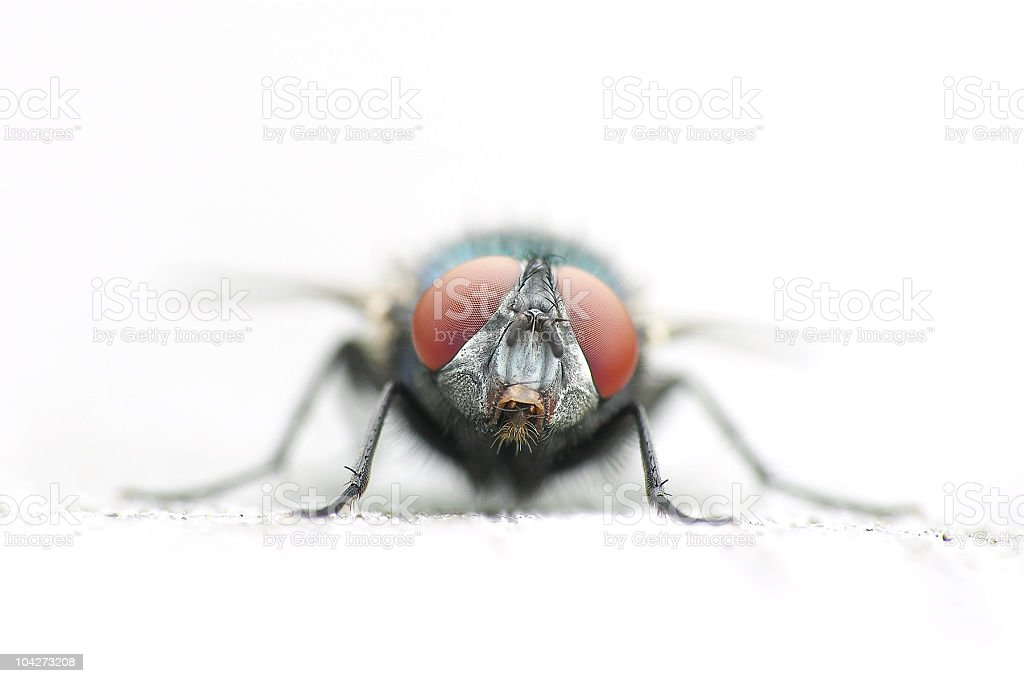 macro of a fly stock photo