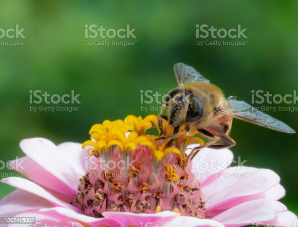Photo of Macro of a honey bee on a pink zinnia blossom; save the bees pesticide free environmental protection concept