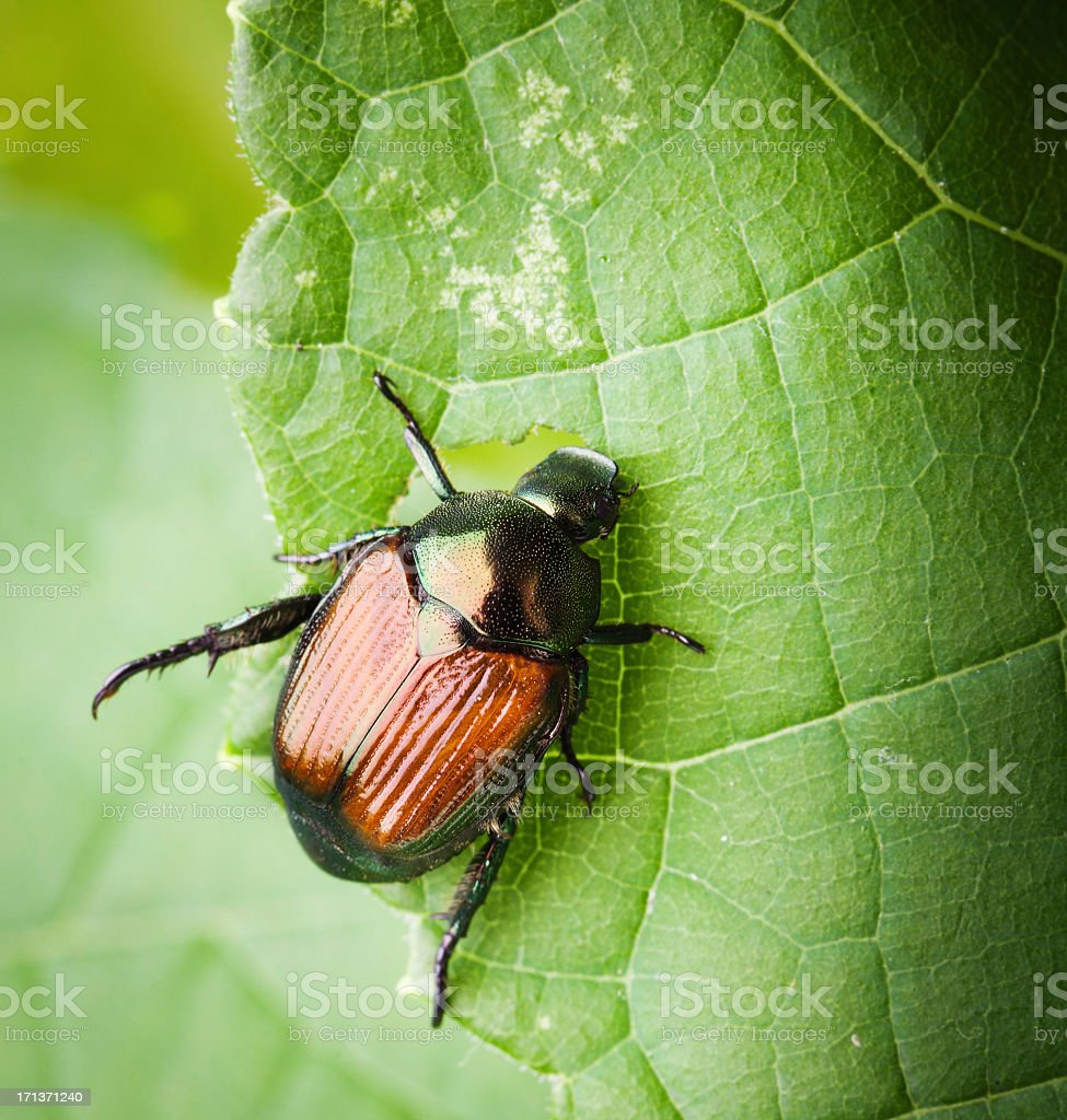 Macro of a Japanese Beetle Eating Leaves stock photo