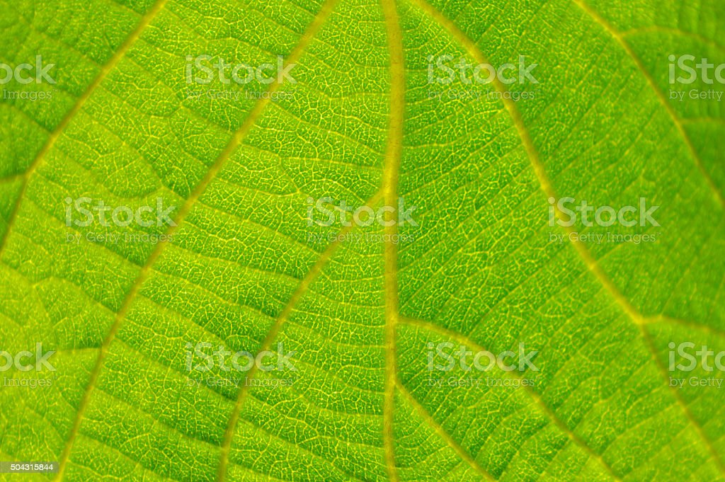 Macro of a leaf vein royalty-free stock photo