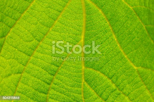 Macro Of A Leaf Vein Stock Photo & More Pictures of Close-up