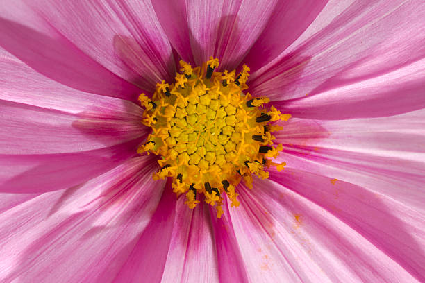 Macro of a Pink Cosmo stock photo