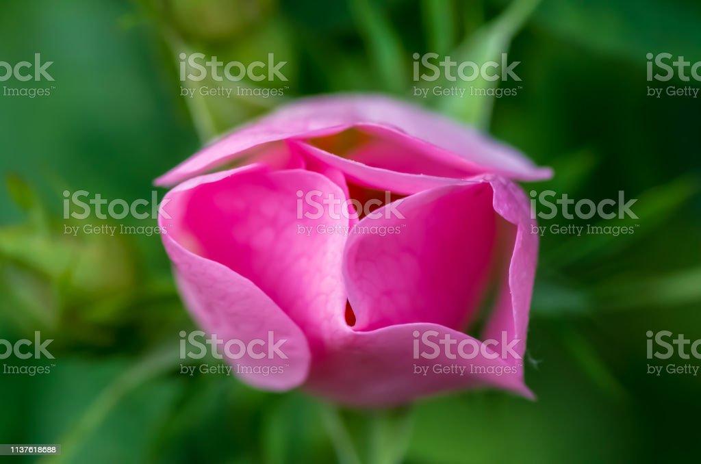 Makro einer rosa Blume mit minimaler Tiefenschärfe, traumhaftes Glühen – Foto