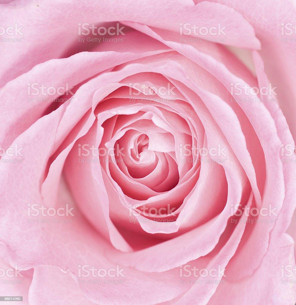 Macro de rosas cor-de-rosa foto royalty-free