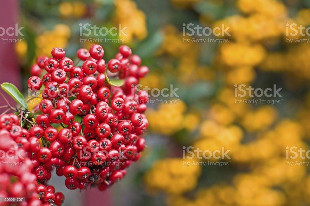 Macro d'une baie rouge pyracantha shrub, également appelé Buisson ardent - Photo