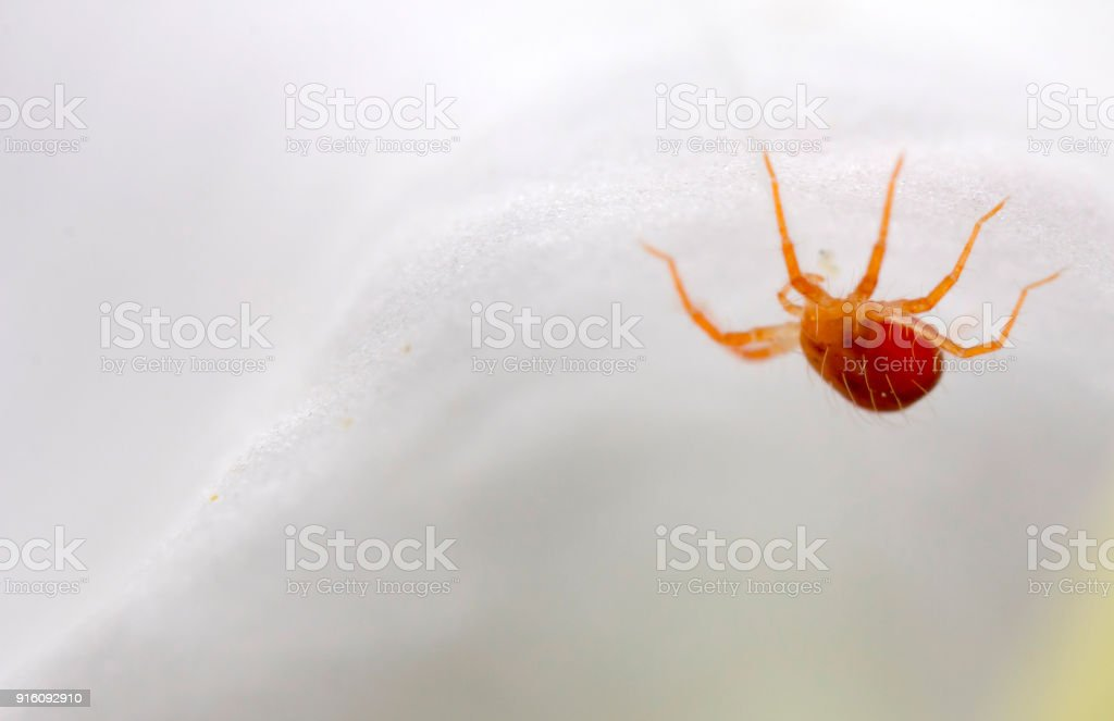 Macro of a red mite stock photo