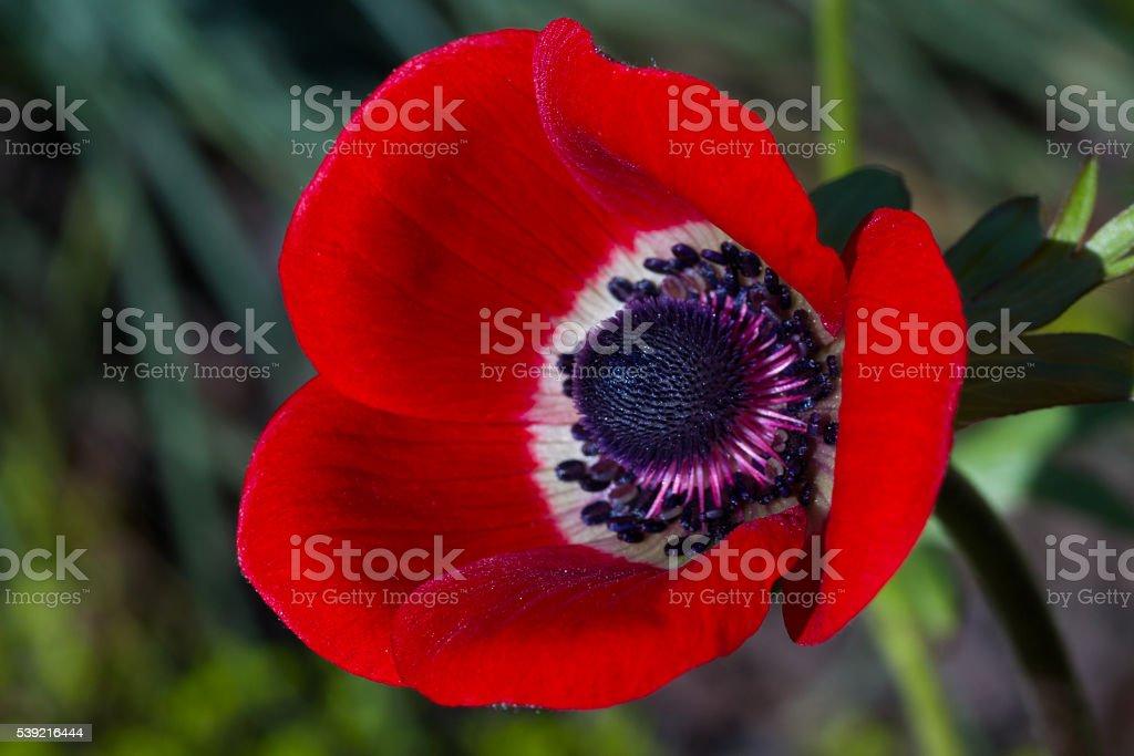 Macro of a red poppy anemone stock photo
