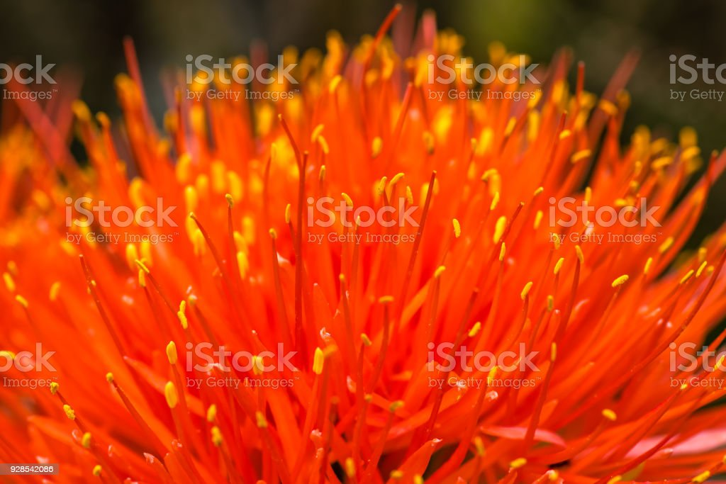Macro of a Scadoxus multiflorus, Amaryllidaceae, selective focus stock photo
