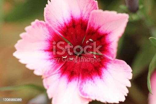 macro of a single mix color flower with soft background