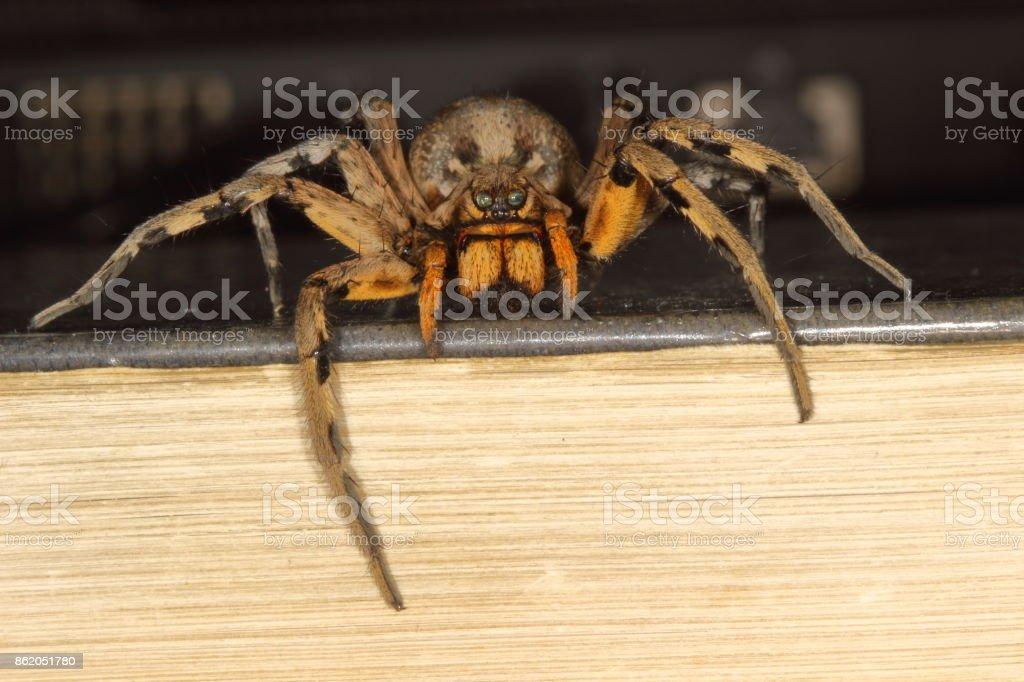 macro of a Spanish tarantula, biggest spanish spider lycosa hispanica. stock photo