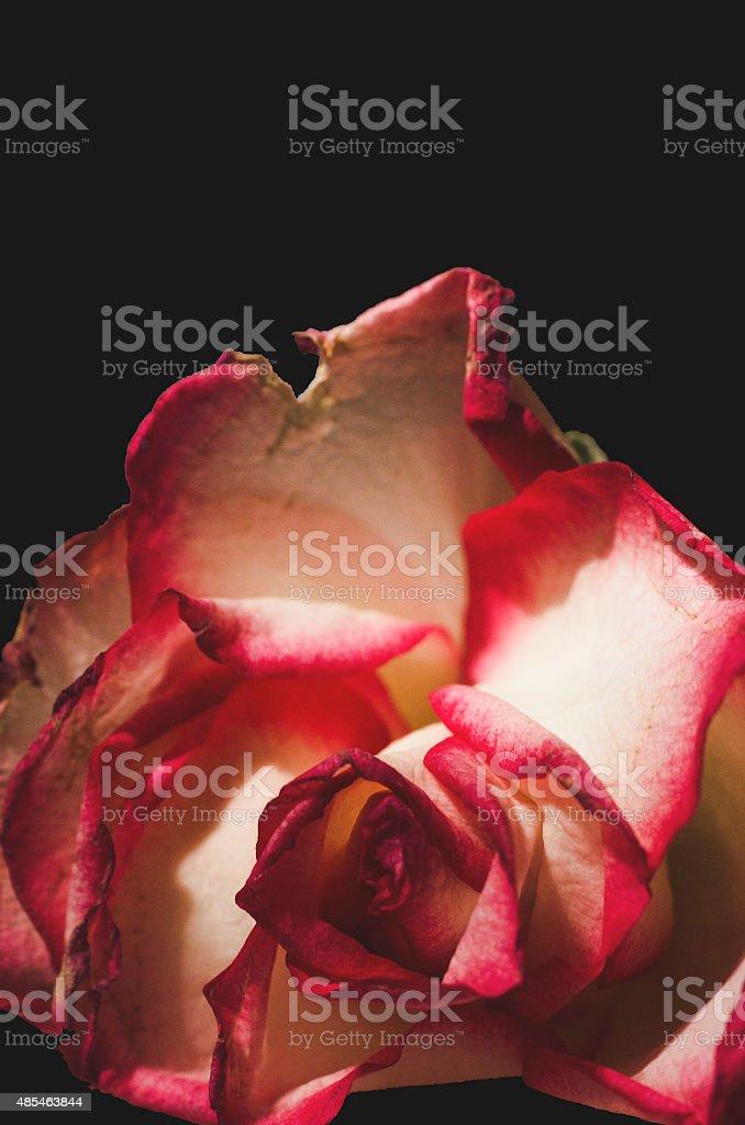 Macro Di Un Bianco E Rosa Con Sfondo Nero Fotografie Stock E Altre