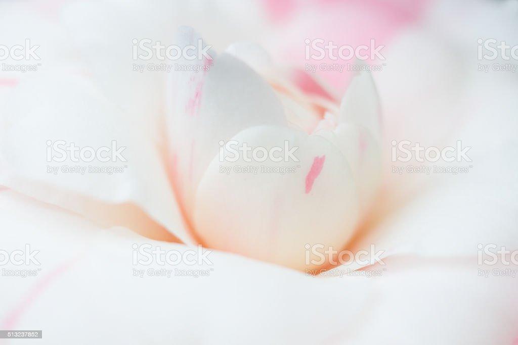 Macro of a white camellia japonica stock photo
