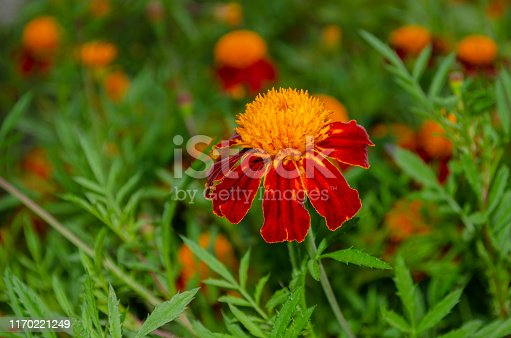 Orange-red single marigold flower on a background of foliage and blurry flowers. Tagetes erecta