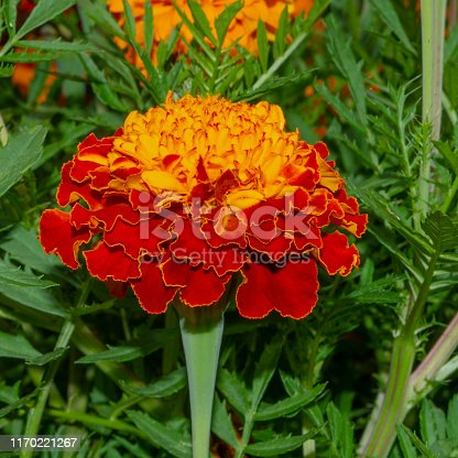 Red-orange single marigold flower. Tagetes